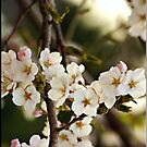 Japanese Cherry Blossoms I by Lauren Neely