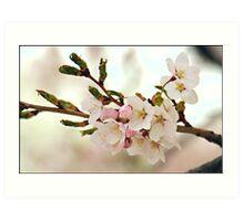 Japanese Cherry Blossoms II Art Print