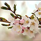 Japanese Cherry Blossoms II by Lauren Neely
