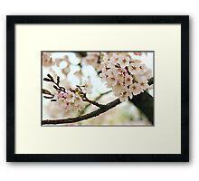 Japanese Cherry Blossoms V Framed Print