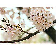 Japanese Cherry Blossoms V Photographic Print