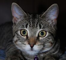Portrait Of A Tabby Kitten by jodi payne