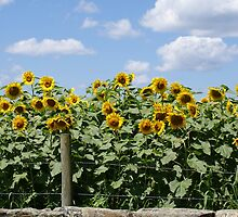 Yellow Sunflowers behind Stone Wall by kalitarios