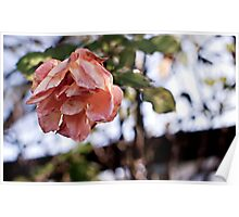 Wilted Pink Rose Poster
