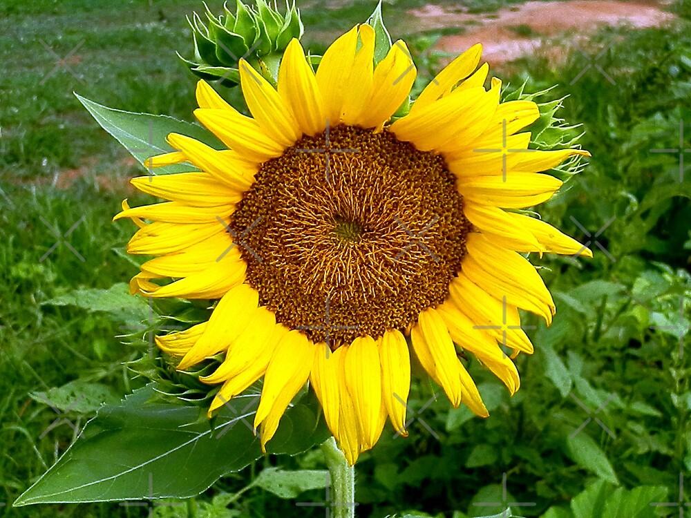 Sunflower #23 by Scott Mitchell