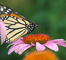Sweet Nectar by NVSphoto
