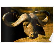 African Buffalo Poster
