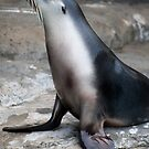 Sea Lion at Taronga Zoo by Andrew Rae