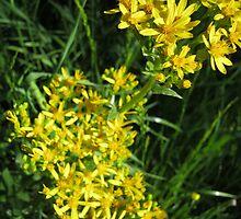 Golden Clusters by Bulwarky