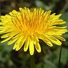 dandelion IV by Floralynne