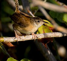 Marsh Wren by Jeff Weymier