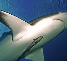 Reef Shark with Remora, Roatan by opticallusion