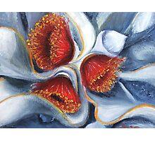Eucalyptus Macrocarpa   1 Photographic Print