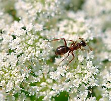 Queen Anne's Ant by MarjorieB