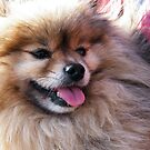 Fluffy Pomeranian by TREVOR34