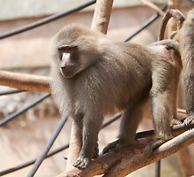 Baboon, Hamadryas in Paignton Zoo by Keith Larby