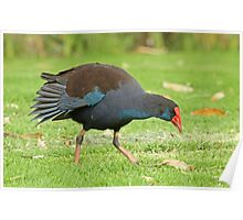 Foraging Swamphen Poster
