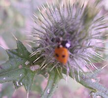 Ladybird on Thistle by Tanya Housham