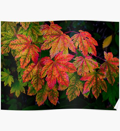 Vine Maple Leaves ~ Fall Colors ~ Poster