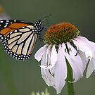 Butterflies by Dennis Cheeseman
