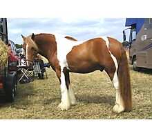 Chestnut Paint .. Gypsy Vanner Photographic Print
