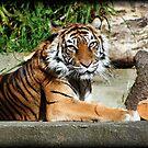 Tiger by AngieBanta