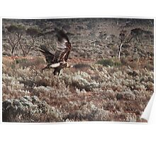 Wedgetail Eagle taking off Poster