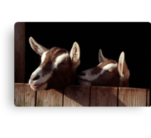 Two Goats looking out of stable. Canvas Print