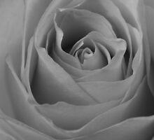 Black & White Rose by nicfarrington