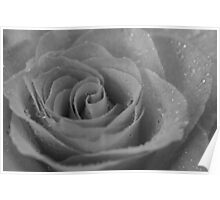 Black & White Wet Rose Poster