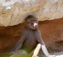 A lone Hamadryas baboon in Paignton zoo, Devon. by Keith Larby