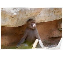 A lone Hamadryas baboon in Paignton zoo, Devon. Poster