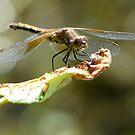 dragonfly resting on a leaf by tego53