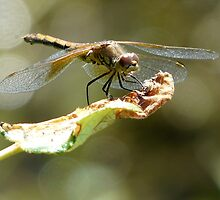dragonfly resting on a leaf by tego53