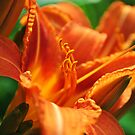Lily at Sunset by William Martin