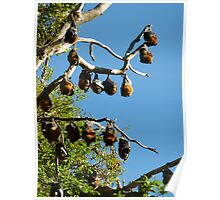 Flying Foxes (or not)! Poster