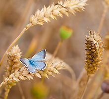 Sun bathing on organic wheat by Matthew Jones