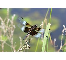 Male widow skimmer! Photographic Print