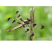Female twelve-spotted skimmer Photographic Print