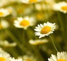 Daisies by Ursula Rodgers