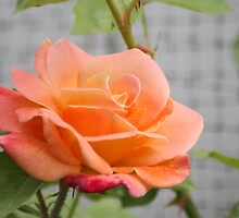 Peaches and Cream Rose by EyelightsPhoto