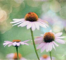 cone flower dreams by Jacque Gates