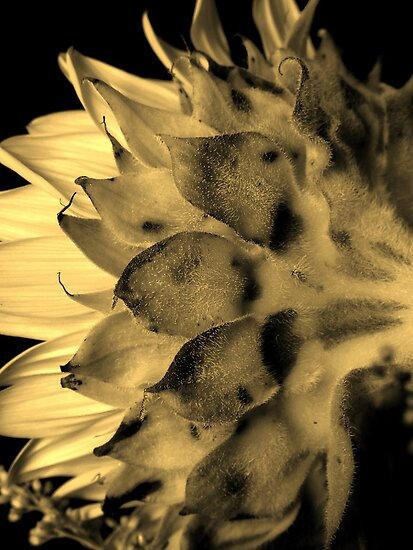 Split tone Sunflower - Sepia by Glenn Cecero