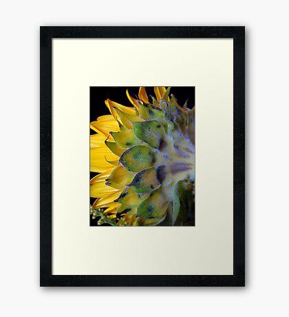Sunflower, turns away! Framed Print