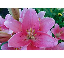 beautiful lilies Photographic Print