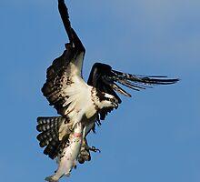Osprey (Pandion haliaetus) by MIRCEA COSTINA