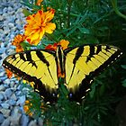 Yellow Tiger Swallowtail by Susan S. Kline