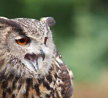 Eurasian Eagle Owl - Parc Omega - Canada by Josef Pittner