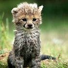 cheetah by sully