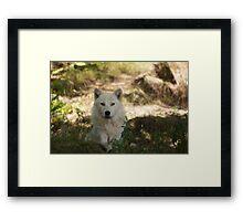 Arctic Wolf - Parc Omega Framed Print